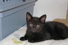 [another picture of Teddy, a Domestic Short Hair black\ cat]