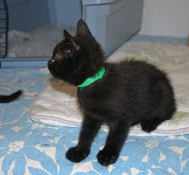 [picture of Teddy, a Domestic Short Hair black cat]