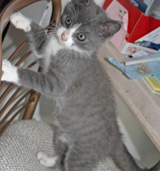 [picture of Christopher, a Domestic Short Hair gray/white cat]