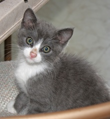 [picture of Christopher, a Domestic Short Hair gray/white\ cat]