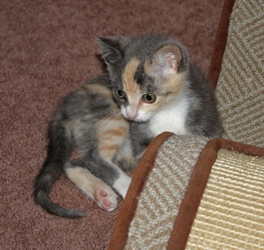 [picture of Angelina, a Domestic Short Hair dilute calico cat]