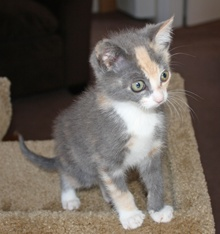 [picture of Angelina, a Domestic Short Hair dilute calico\ cat]