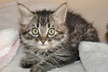[picture of Sonia, a Domestic Long Hair black tabby\ cat]