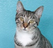 A picture of #NS04389: Simba a Domestic Short Hair tabby/white