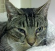 A picture of #NS04499: Dartmore a Domestic Short Hair tabby/white