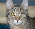 A picture of #NS04543: One-eyed Jack a Domestic Short Hair tabby