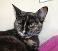 A picture of #NS04573: Anita a Domestic Short Hair tortoiseshell