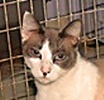 A picture of #NS04600: America a Siamese/Domestic Short Hair-x chocolate point