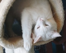 [another picture of Sammy, a Domestic Short Hair white/gray\ cat]