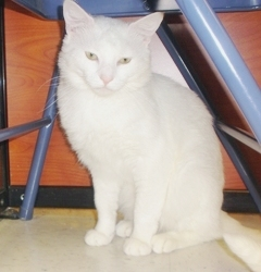 [picture of Sammy, a Domestic Short Hair white/gray cat]