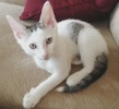 A picture of #NS04616: Tyler a Domestic Short Hair white/tabby