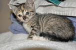 A picture of #NS04619: Patty Cake a Domestic Short Hair tortoiseshell tabby