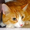 A picture of #NS04623: Rudy a Domestic Short Hair orange tabby/white