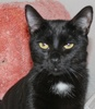 A picture of #NS04624: Ralphie a Domestic Short Hair black