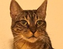 A picture of #NS04625: Trigger a Domestic Short Hair brown tabby