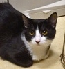 A picture of #NS04628: Jaxie a Domestic Short Hair black/white