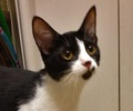 A picture of #NS04629: Maizy a Domestic Short Hair black/white
