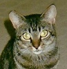 A picture of #NS04640: Brooklyn a Domestic Short Hair tabby
