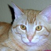 A picture of #NS04644: Mr. Big a Domestic Short Hair orange tabby