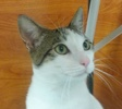 A picture of #NS04655: Simon a Domestic Short Hair white/tabby