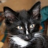 A picture of #NS04657: Billy a Domestic Medium Hair black/white