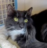 A picture of #NS04662: Ivan a Domestic Short Hair gray/white