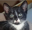 A picture of #NS04663: Bolt a Domestic Short Hair black/white