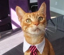 [picture of Doug, a Domestic Short Hair orange tabby\ cat]