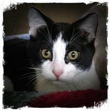 [another picture of Boo, a Domestic Short Hair black/white\ cat]