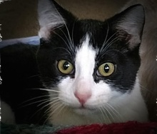[picture of Boo, a Domestic Short Hair black/white\ cat]
